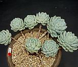 라즈베리아이스-8두(大-자연) Echeveria Rasberry Ice