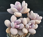 아메치스|Graptopetalum amethystinum
