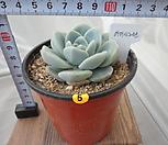 아이시그린 05 Echeveria Ice green