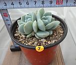 아이시그린 07 Echeveria Ice green