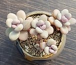 아메치스군생 한몸|Graptopetalum amethystinum