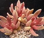 군작모듬 4-314|Pachyphytum hookeri