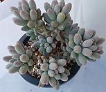 베이비핑거 자연군생|Pachyphytum Machucae (baby finger)
