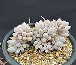5월 베이비핑거 5A1-84|Pachyphytum Machucae (baby finger)
