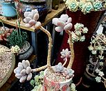 일본 홍미인 한몸군생 묵은둥이(개인소장품)|Pachyphytum ovefeum cv. momobijin