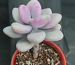 아메치스 278685|Graptopetalum amethystinum