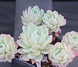 라즈베리아이스 (일본) 278694 Echeveria Rasberry Ice