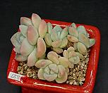 아이시그린-5두(컷팅) Echeveria Ice green