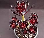 흑법사(자연군생) Aeonium arboreum var. atropurpureum