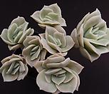 러블리로즈(목대적심) Lovely Rose