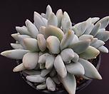 후레뉴10두(적심) Pachyphtum cv Frevel