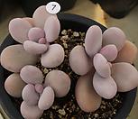 아메치스(520-7)|Graptopetalum amethystinum