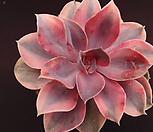 웨스트레인보우(대품) Echeveria rainbow