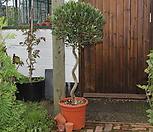 유럽의 감성 올리브나무 13년생 대품/스크류 볼타입/단품