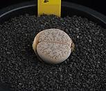 XP1715-LT. gracilidelineata C374 황옥荒玉|