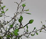 마리오 코로키아(중소품)/요즘 핫한 고급스런 식물/공기정화 식물/애스토니 뮤렌베키아/인테리어 효과도 좋아요.|