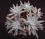화이트그리니(적심) Dudleya White gnoma(White greenii / White sprite)