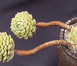 묵은마카디미아(한몸??) Echeveria Macadamia