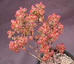 브레비폴리아 Crassula Brevifolia