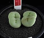 XP1762-Conophytum gratum 우월(雨月)4두|