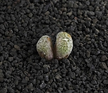 XP1765-C.minusculum leipoldtii  ARM.412 Eselbank   미누스쿨룸 레이폴드티 2두  맨아래 사진참고하세요|