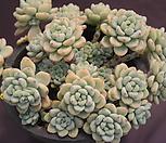 묵은라울(한몸) Sedum Clavatum