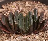 옥선금 Haworthia truncata variegated