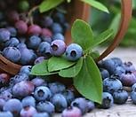 열매가 조롱조롱 열린 블루베리 나무 소품