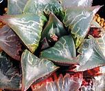 주탄동자(酒呑童子) (Haworthia badia hyb. Shuten-Doji, Offset)