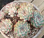 황홀한연꽃 Echeveria pulidonis