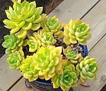 그랜드플로라 Echeveria Poltava (grandiflora)