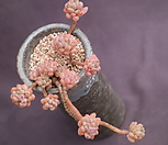 미크로칼릭스(한몸??) Echeveria amoena Microcalyx