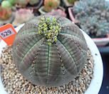 오베사(암)5-529|Baseball Plant (Euphorbia obesa)