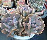 큐빅후로스티 자연군생6-550|Echeveria pulvinata Frosty