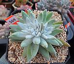 건강한화이트그리니(분지중)6-569|Dudleya White gnoma(White greenii / White sprite)