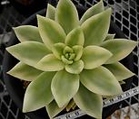 異��↔� (異��〓났瑜�湲�) �밸����(xCremneria Scaphylla variegated)