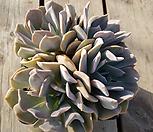 라우톱 (적심군생)대품|Echeveria Exotic
