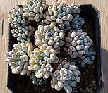 블루빈스1|Graptopetalum pachyphyllum Bluebean