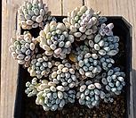 블루빈스2|Graptopetalum pachyphyllum Bluebean