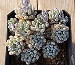 블루빈스3|Graptopetalum pachyphyllum Bluebean
