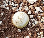 부르게리1|Conophytum burgeri