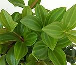 [꽃대통령]홀리페페 공기정화식물|