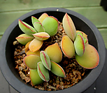 모건스뷰티 6-580|Crassula Morgans Beauty