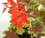 [꽃대통령]벤쿠버제라늄 모기퇴치식물|
