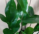 금전수/공기정화식물|