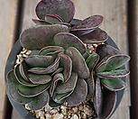 무지어소금1|Adromischus maculatus