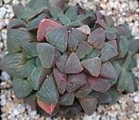 피그마에아 7106-2007|Haworthia pygmaea