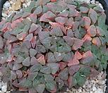 피그마에아 7106-2011|Haworthia pygmaea