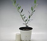 Y형 올리브나무|