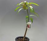 슈퍼망고(라이락)나무 (접목2년)|